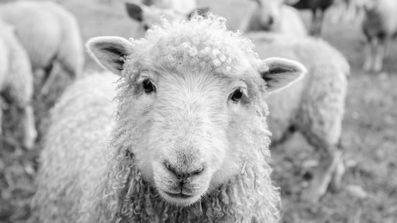 Schaf vor Herde auf Wiese